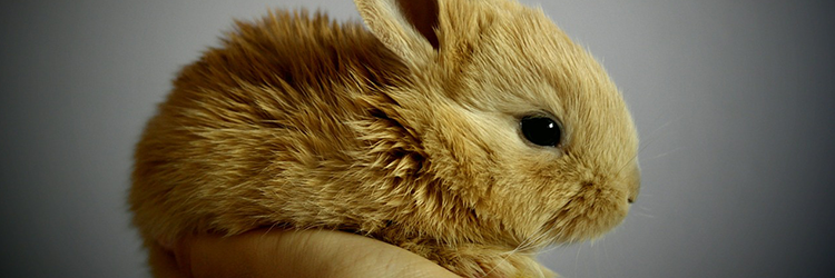 Rabbit - French Translation