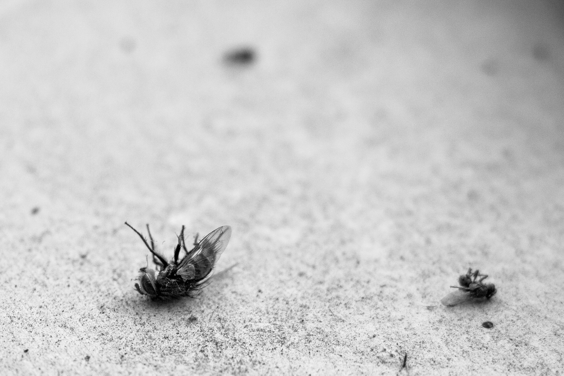 Dead flies to illustrate a Czech weather idiom about falling flies in heat.