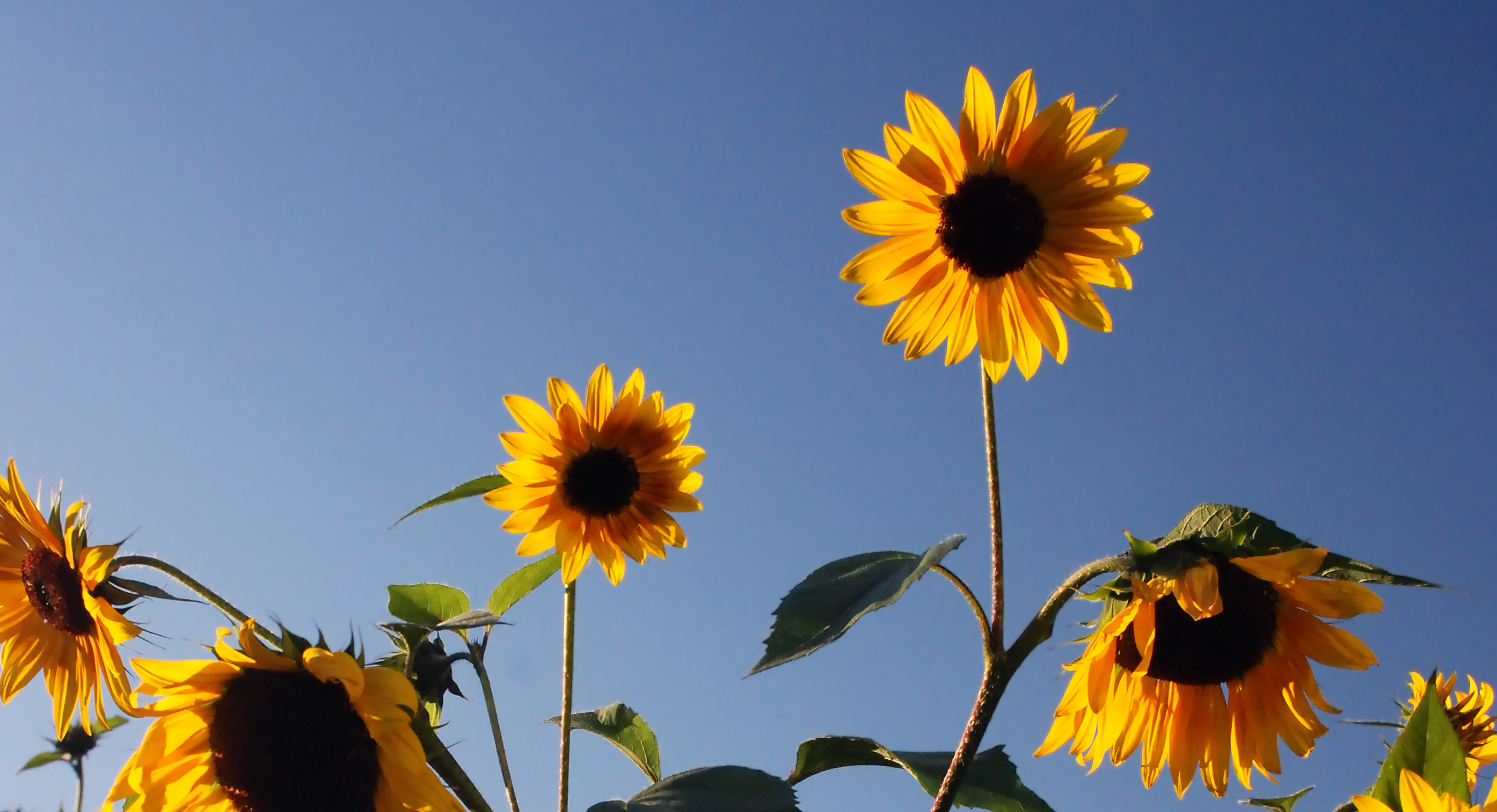 sunflowers on happiness day